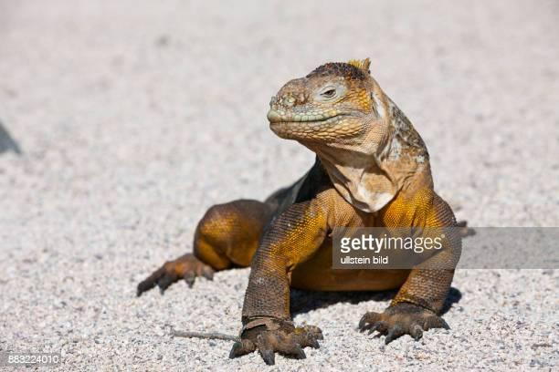 Galapagos Land Iguana Conolophus subcristatus North Seymour Galapagos Ecuador