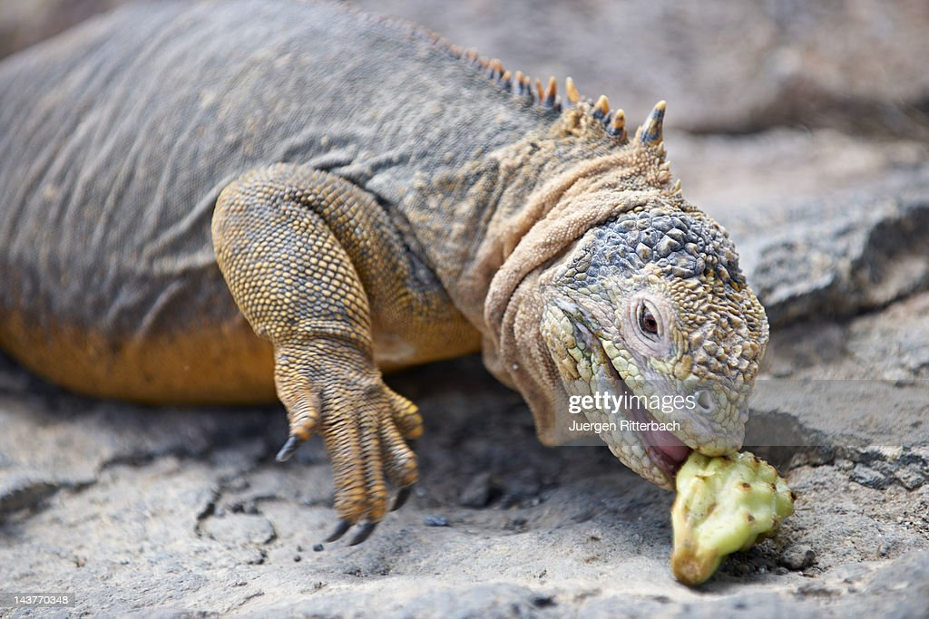 Galapagos Land Iguana, Conolophus subcristatus : Stock Photo