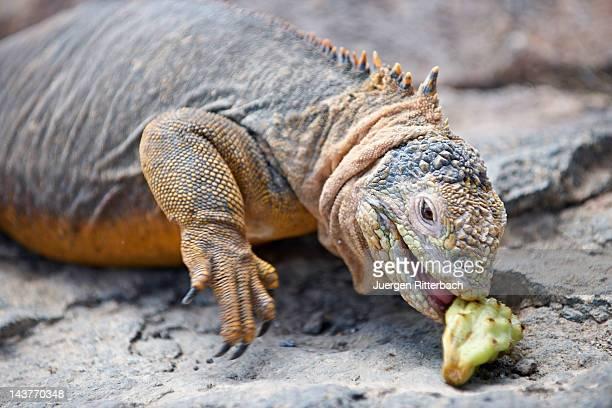 galapagos land iguana, conolophus subcristatus - land iguana stock photos and pictures