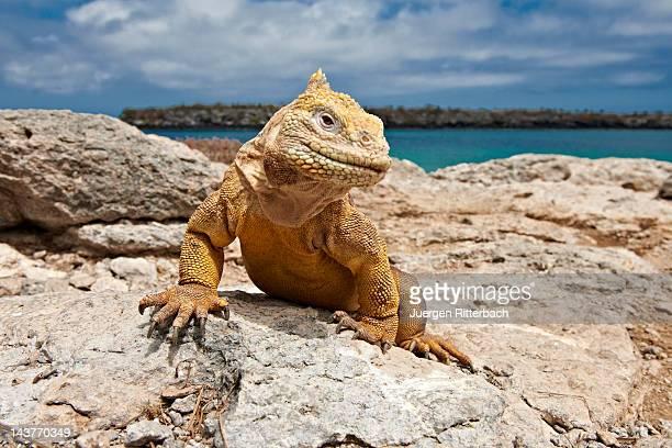 galapagos land iguana, conolophus subcristatus - galapagos islands stock pictures, royalty-free photos & images