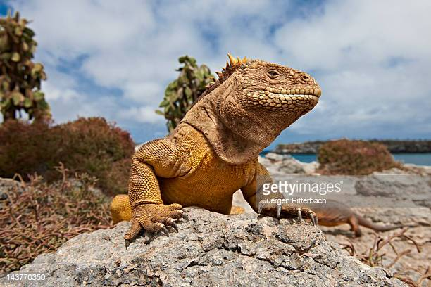 galapagos land iguana, conolophus subcristatus - iguana fotografías e imágenes de stock
