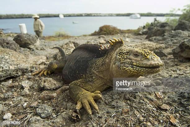 galapagos land iguana (conolophus subcristatus). galapagos. - land iguana stock photos and pictures