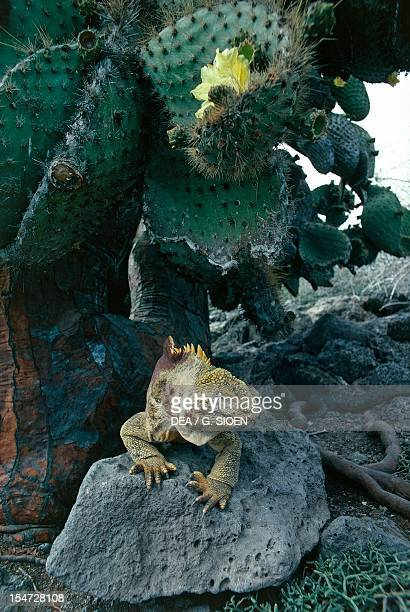Galapagos Land Iguana Iguanidae Santa Fe' Island Galapagos Ecuador