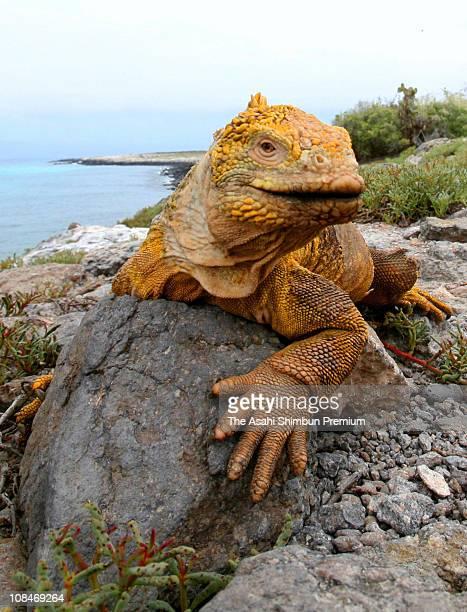 A Galapagos land iguana is seen on April 11 2007 in Galapagos Ecuador