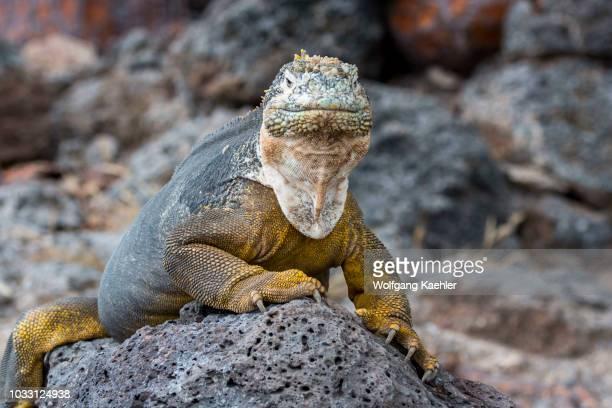 Galapagos land iguana on South Plaza Island in the Galapagos Islands Ecuador