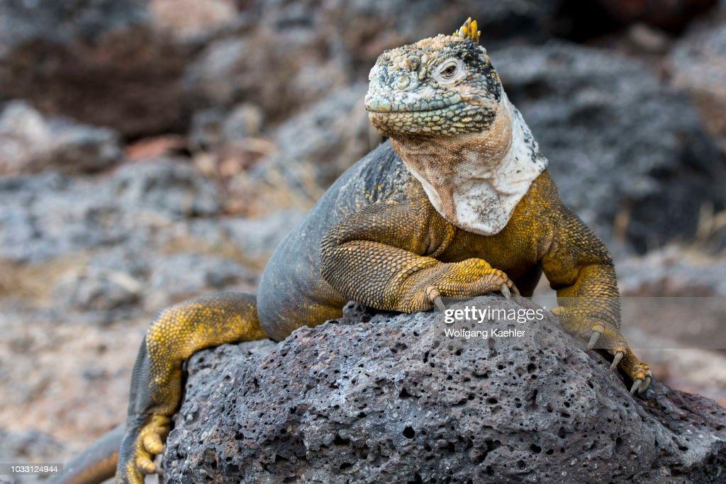A Galapagos land iguana (Conolophus subcristatus) on South... : News Photo