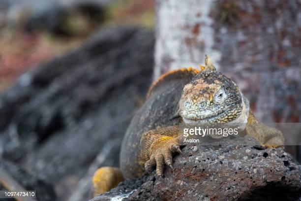 A Galapagos land iguana on South Plaza Island in the Galapagos Islands Ecuador