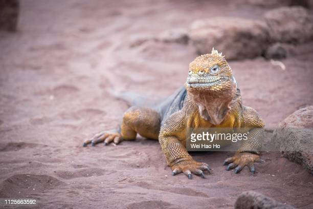 galapagos land iguana - galapagos land iguana stock photos and pictures