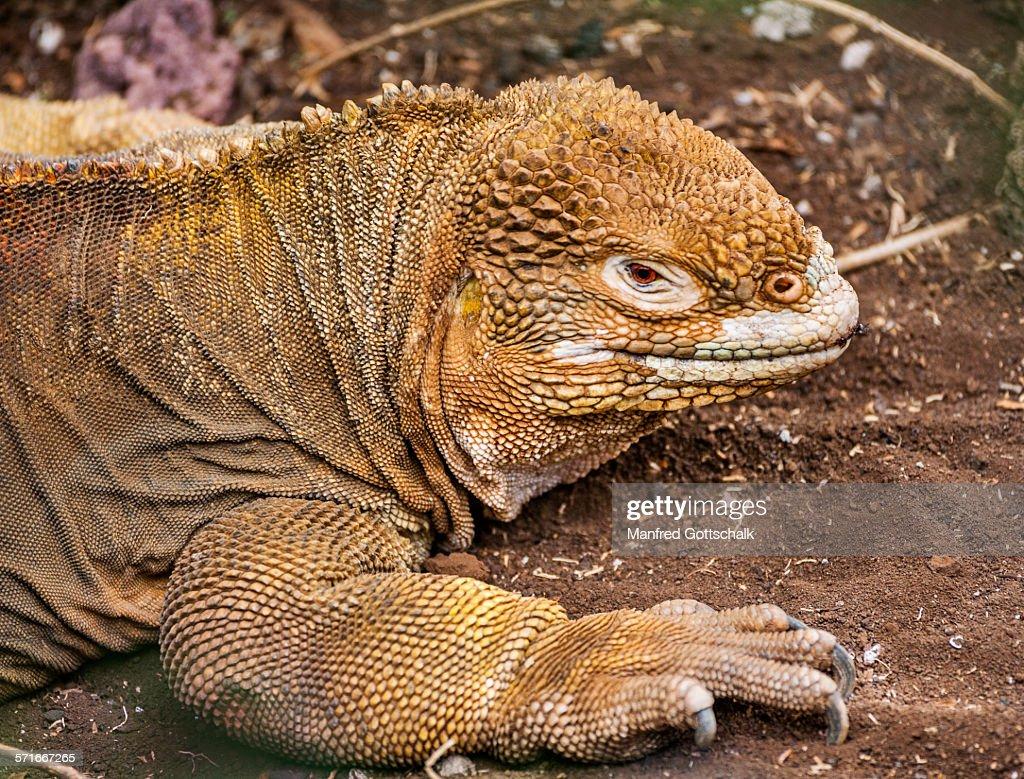 Galapagos land iguana : Stock Photo