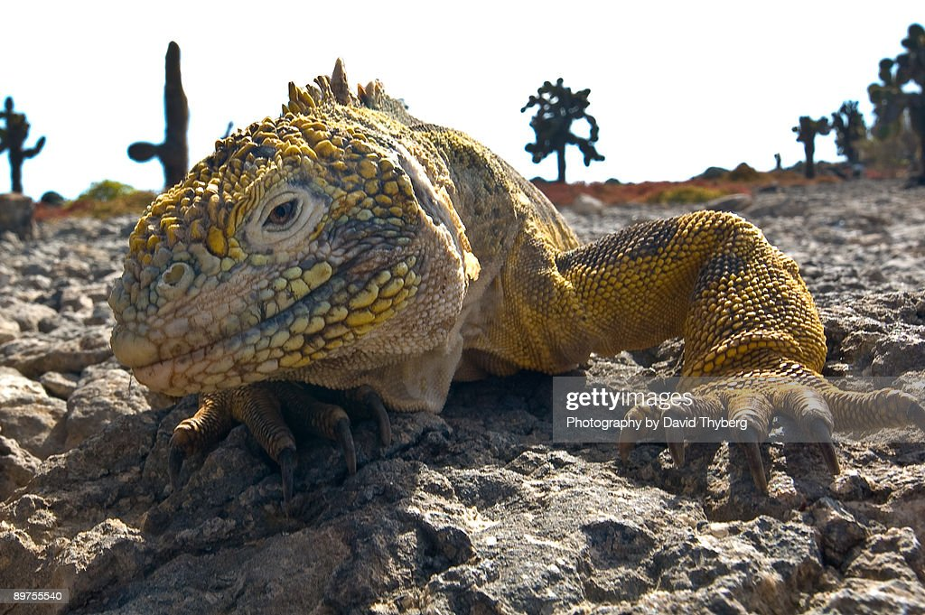 Galapagos Land Iguana : Stock Photo
