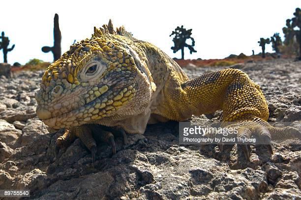 galapagos land iguana - isla de santa cruz islas galápagos fotografías e imágenes de stock