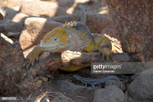 galapagos land iguana - land iguana stock photos and pictures