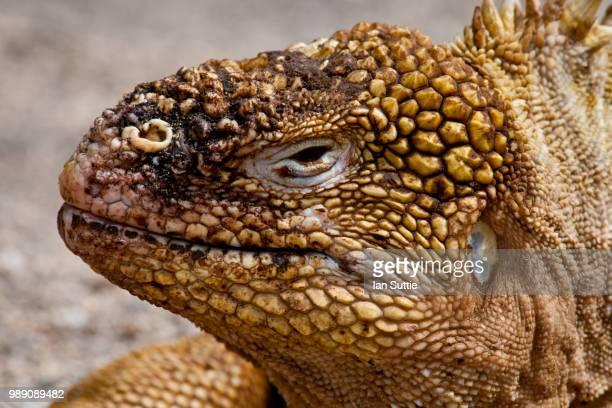 galapagos land iguana - land iguana stock photos and pictures