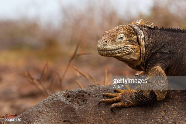 galapagos land iguana profile - land iguana stock photos and pictures
