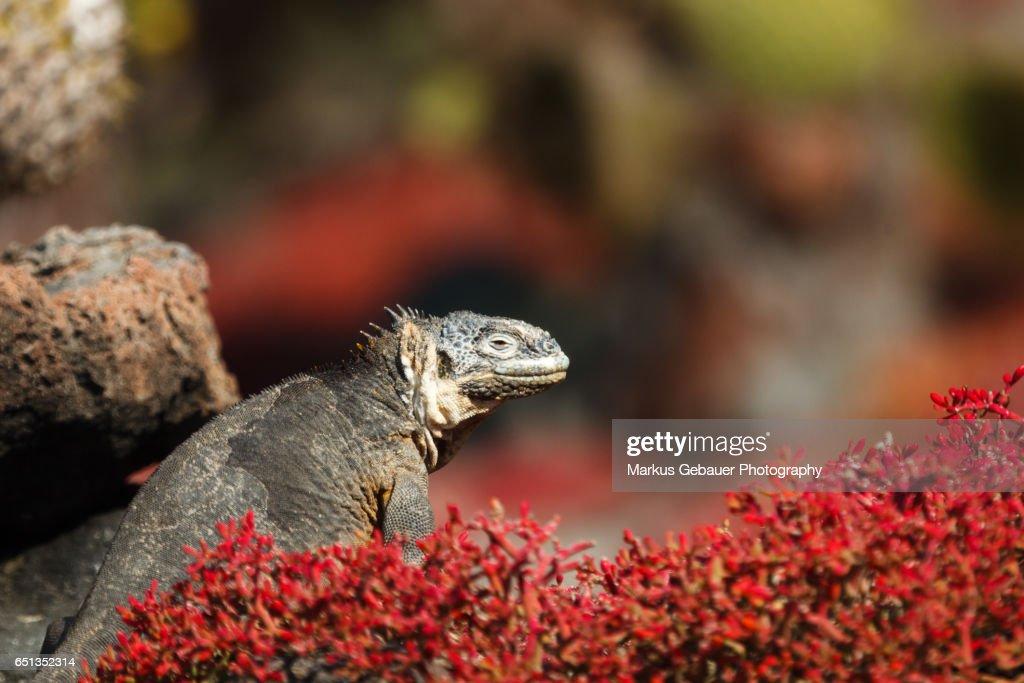 Galapagos land iguana sits among colorful red vegetation : Stock Photo