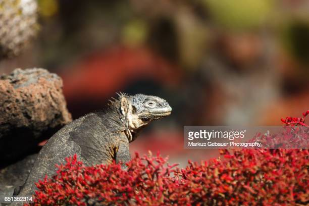 Galapagos land iguana sits among colorful red vegetation