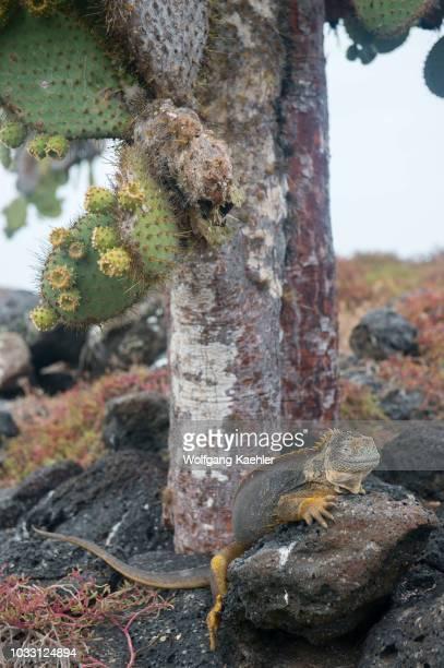 Galapagos land iguana under a Prickly pear cacti on South Plaza Island in the Galapagos Islands Ecuador