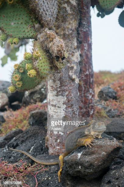 A Galapagos land iguana under a Prickly pear cacti on South Plaza Island in the Galapagos Islands Ecuador