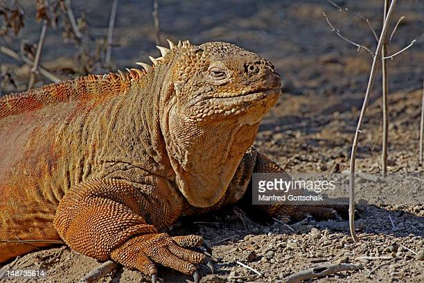 galapagos land iguana (conolophus subcristatus), urbina bay. - land iguana stock photos and pictures