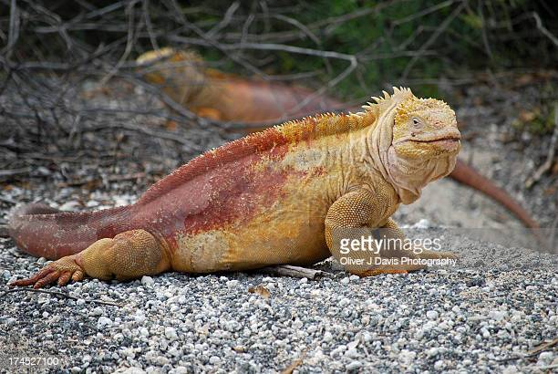 galapagos land iguanas next to their burrow - galapagos land iguana stock photos and pictures