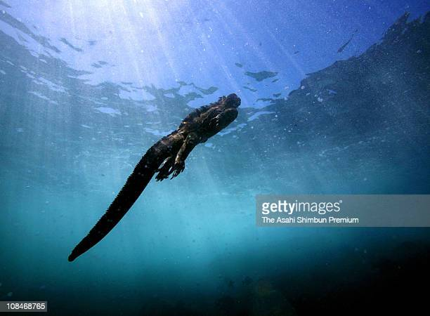 A Galapagos marine iguana is seen under the sea on April 16 2007 in Galapagos Ecuador