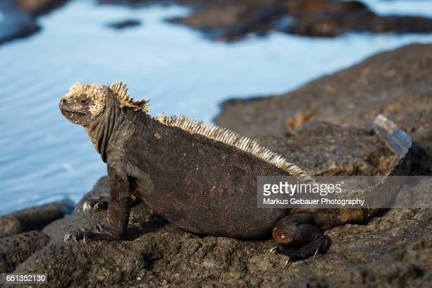 Galapagos marine iguana on rock shore with ocean in the background