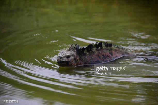 galapagos marine iguana - isla de santa cruz islas galápagos fotografías e imágenes de stock