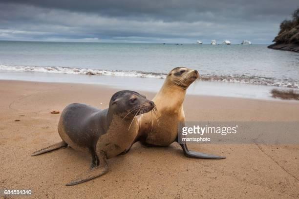 galapagos marine iguana - seal beach stock pictures, royalty-free photos & images