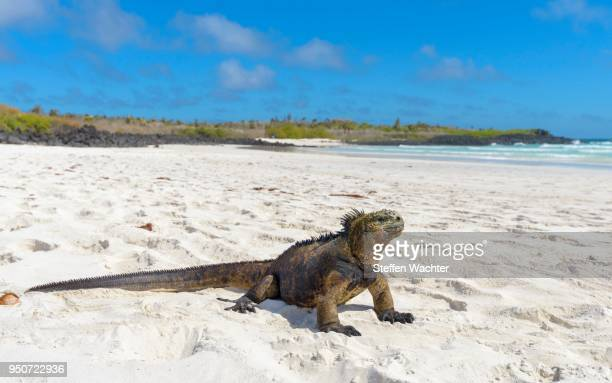 galapagos marine iguana (amblyrhynchus cristatus) sitting in sand on beach, sunbathing, tortuga bay, santa cruz island, galapagos, ecuador - isla de santa cruz islas galápagos fotografías e imágenes de stock