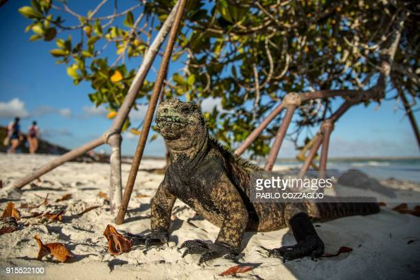 A Galapagos marine iguana sunbathe next to tourists at the Tortuga Bay beach on the Santa Cruz Island in Galapagos Ecuador on January 20 2018...