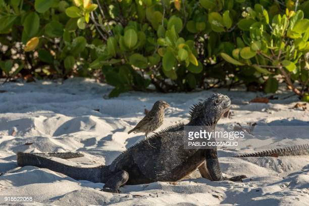 A Galapagos marine iguana sunbathe while a small ground finch feeds at Tortuga Bay beach on the Santa Cruz Island in Galapagos Ecuador on January 20...
