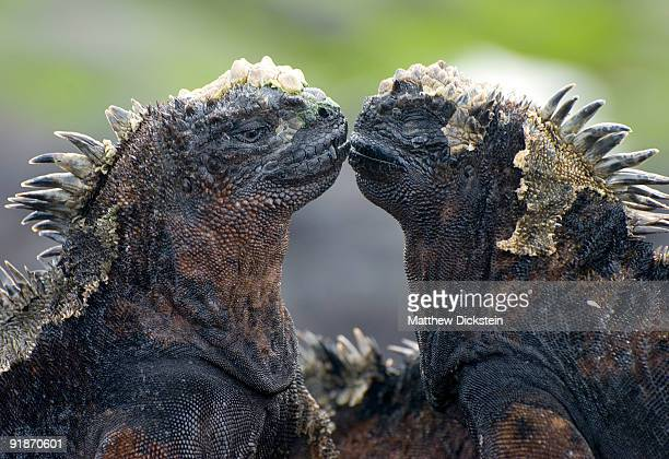galapagos marine iguanas kissing - iguana foto e immagini stock