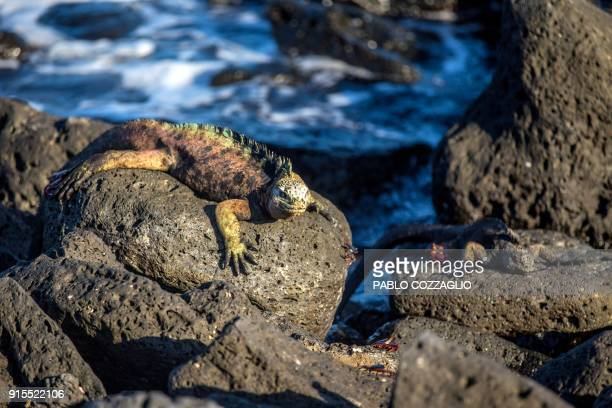 Galapagos marine iguanas sunbathe at the Tortuga Bay beach on the Santa Cruz Island in Galapagos Ecuador on January 20 2018 Ecuador's growing tourism...