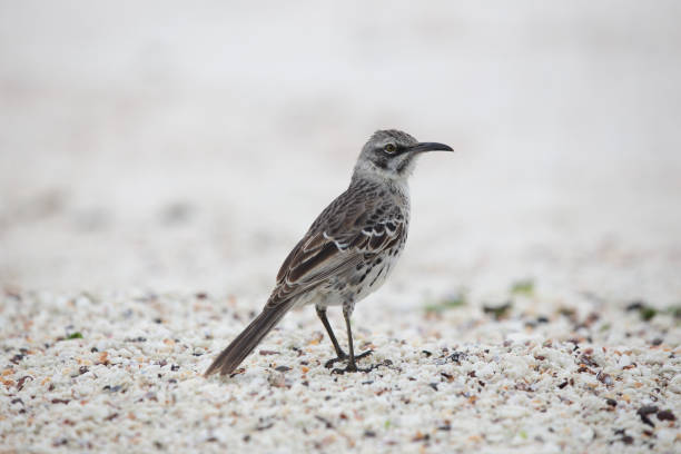 Free mockingbird Images, Pictures, and Royalty-Free Stock Photos ...