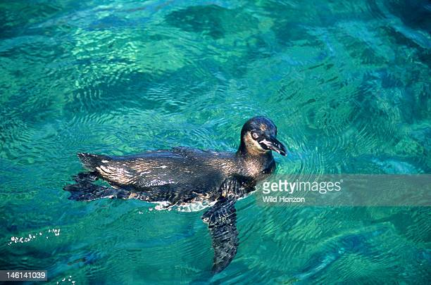Galapagos penguin, an Endangered endemic species that can live on the equator due to the influx of cool water from the Humboldt and Cromwell...