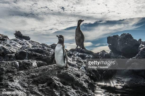 galapagos penguin and flightless cormorant resting on rocks, seymour, galapagos, ecuador - galapagos penguin stock pictures, royalty-free photos & images
