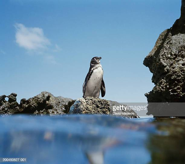galapagos penguin (spheniscus mendiculus) atop rock beside sea - galapagos penguin stock pictures, royalty-free photos & images