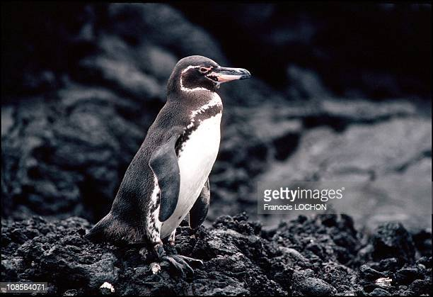 Galapagos Penguin in Equateur, Congo in November, 1992.