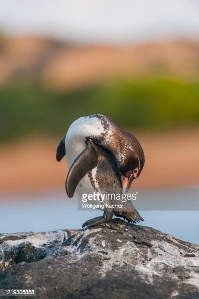 Galapagos penguin is preening the feathers on a rock along the shoreline of Bartolome Island in the Galapagos Islands, Ecuador.