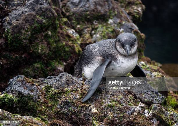 Galapagos penguin on Isabela island on January 23, 2019 in Galapagos Islands, Ecuador. A growing human population and the influx of tourism on the...