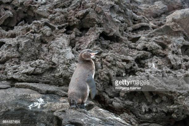 Galapagos penguin on rocks along the shoreline of Bartolome Island in the Galapagos Islands, Ecuador.