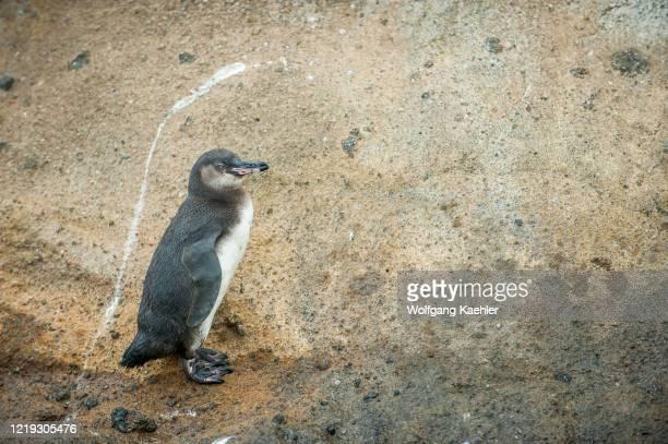 Galapagos penguin on the rocks along the shore of Isabela Island, in the Galapagos Islands, Ecuador.