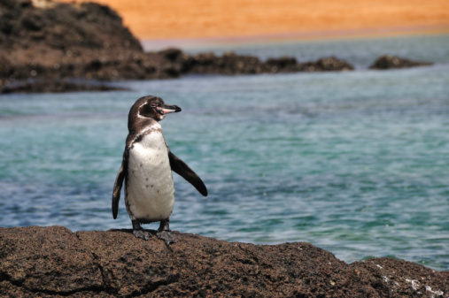 Galapagos Penguin 91721381