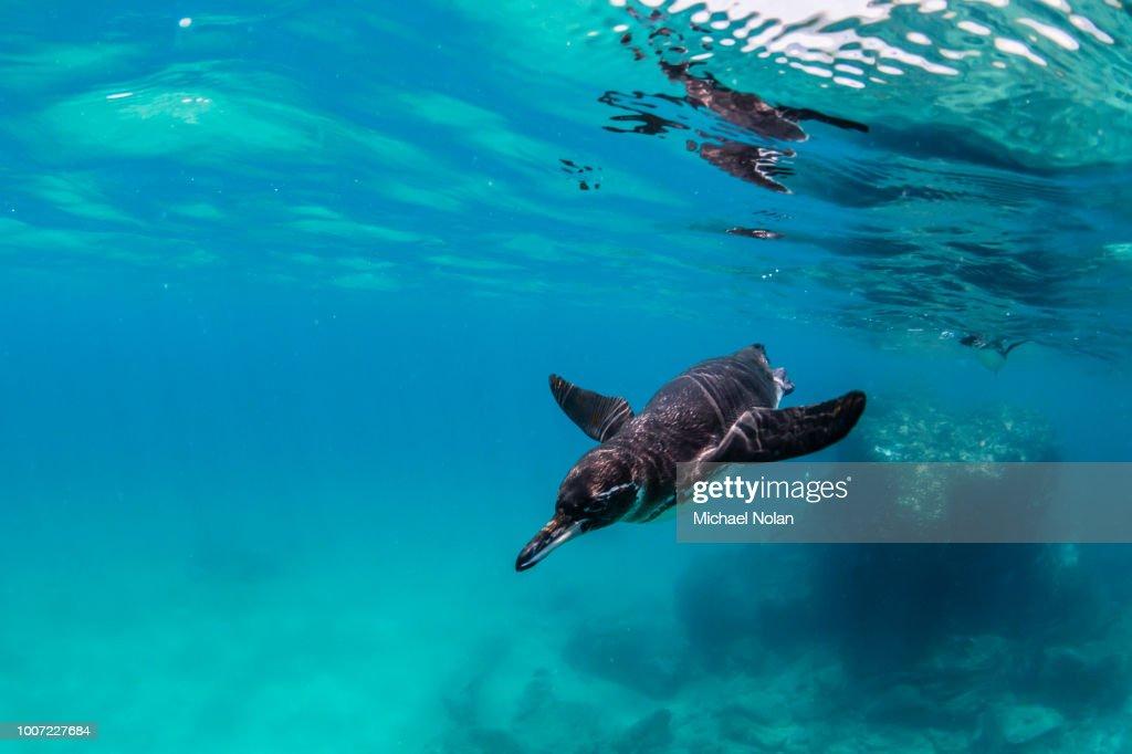 Galapagos penguin (Spheniscus mendiculus) swimming underwater at Bartolome Island, Galapagos, Ecuador, South America : Stock Photo