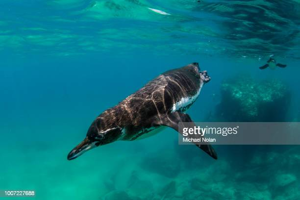 galapagos penguin (spheniscus mendiculus) swimming underwater at bartolome island, galapagos, ecuador, south america - galapagos penguin stock pictures, royalty-free photos & images