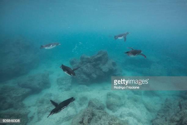 galapagos penguins hunting sardines, seymour, galapagos, ecuador - galapagos penguin stock pictures, royalty-free photos & images