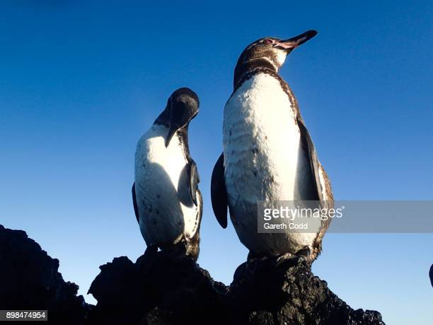 galapagos penguins - galapagos penguin stock pictures, royalty-free photos & images