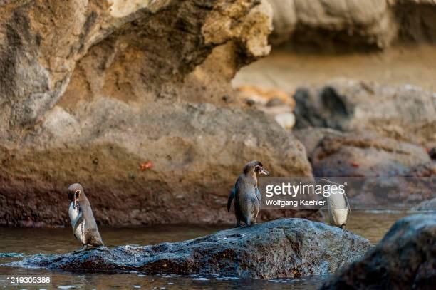 Galapagos penguins standing on rocks along the shoreline of Bartolome Island in the Galapagos Islands, Ecuador.