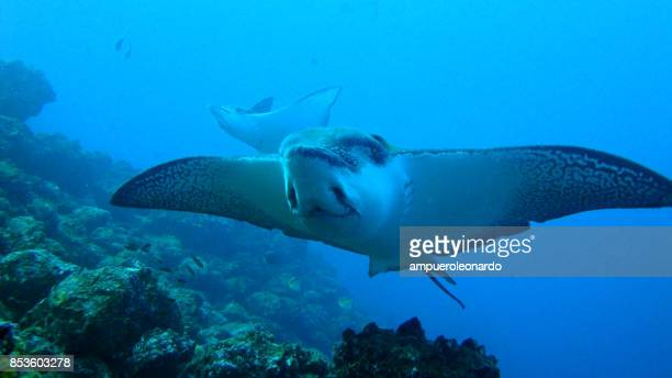 galapagos reef - dasiatide foto e immagini stock