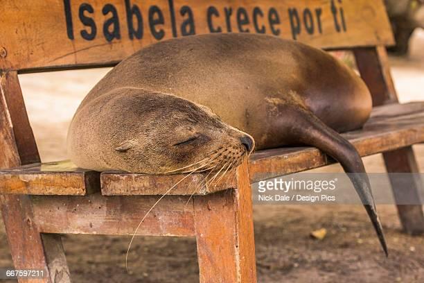 Galapagos sea lion (Zalophus wollebaeki) asleep on wooden bench